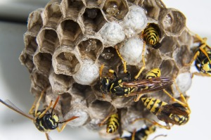 07b-wasps
